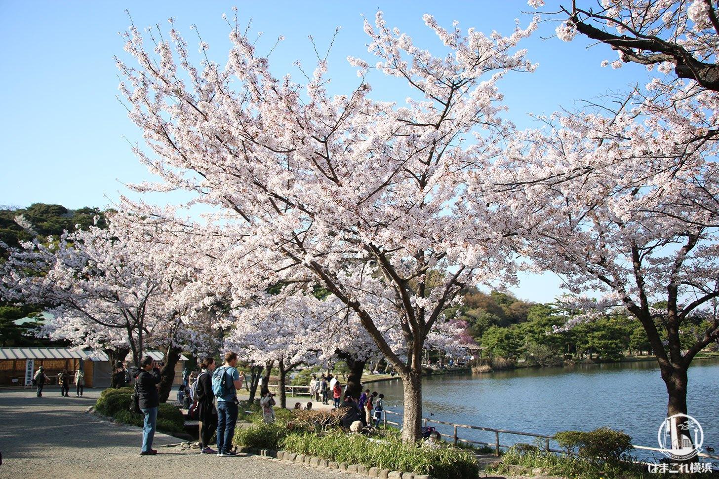 三溪園 桜