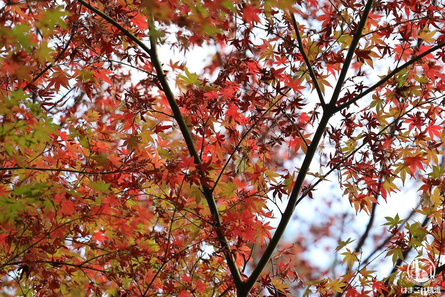 三溪園 紅葉