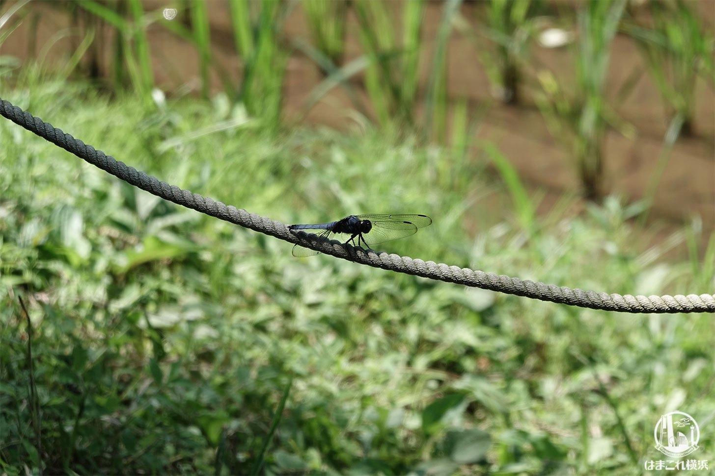 舞岡公園で見つけたトンボ