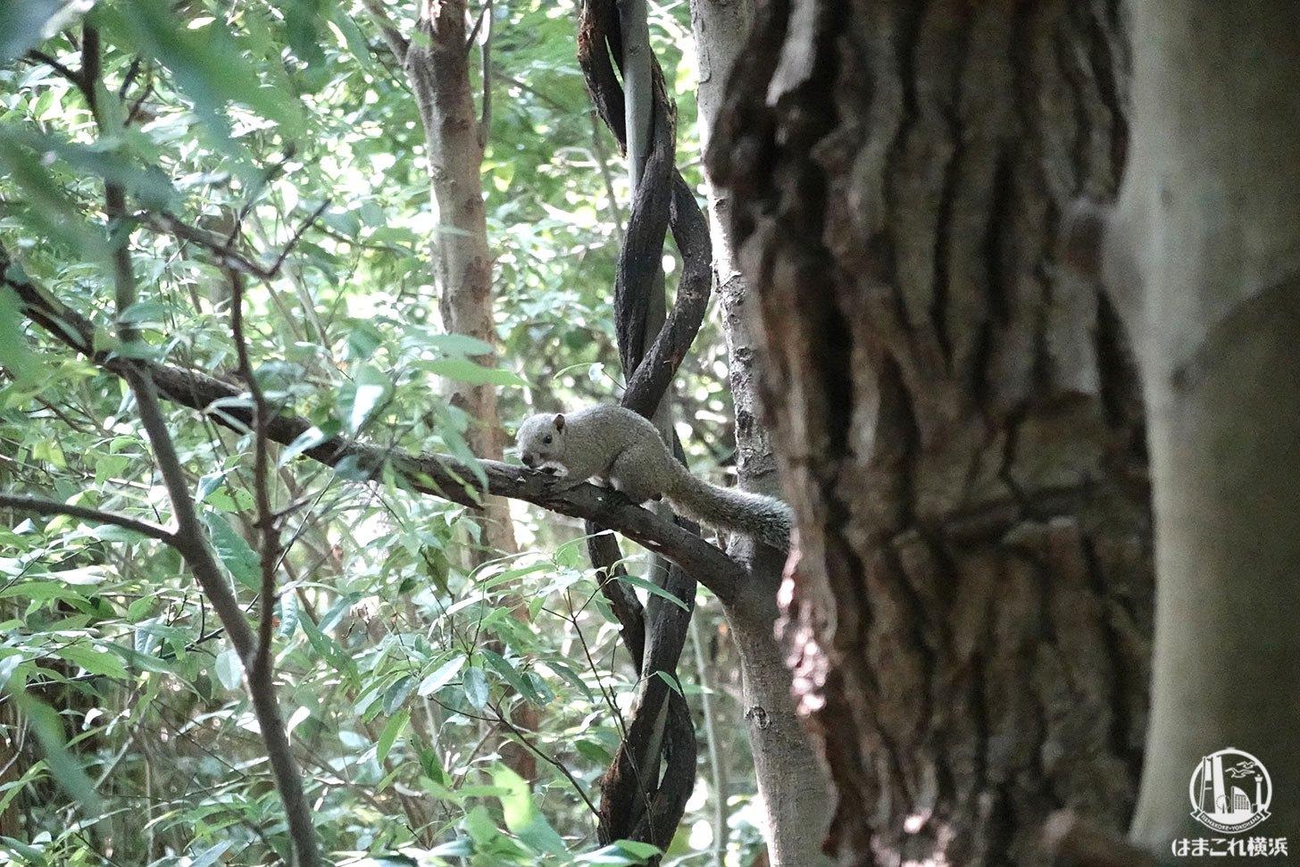 舞岡公園で見つけたリス