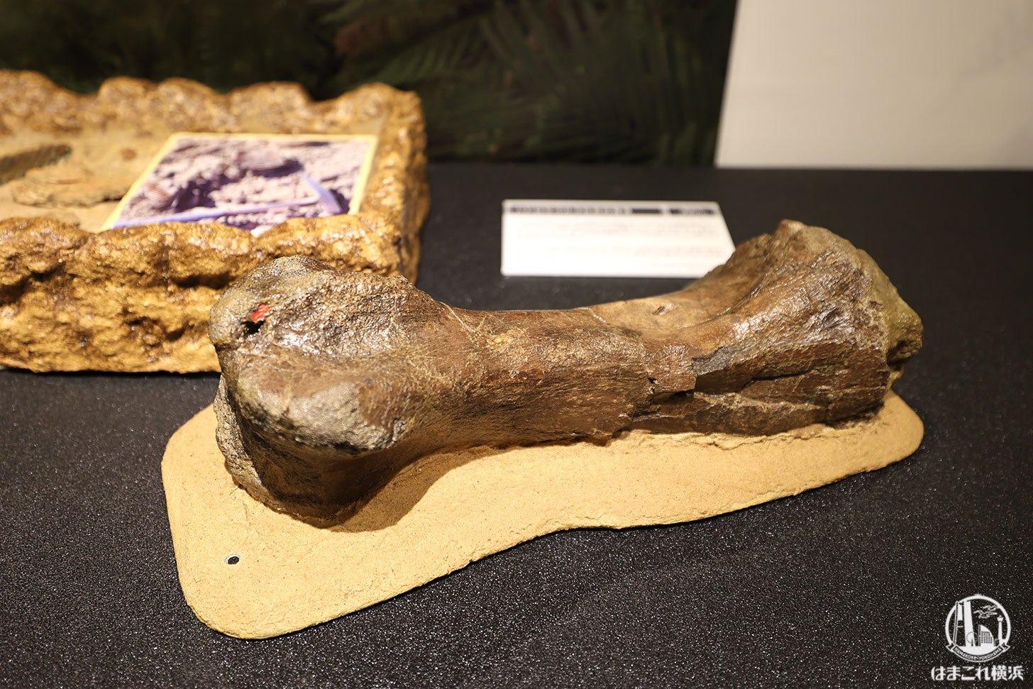 噛まれた跡のあるハドロサウルスの足の骨