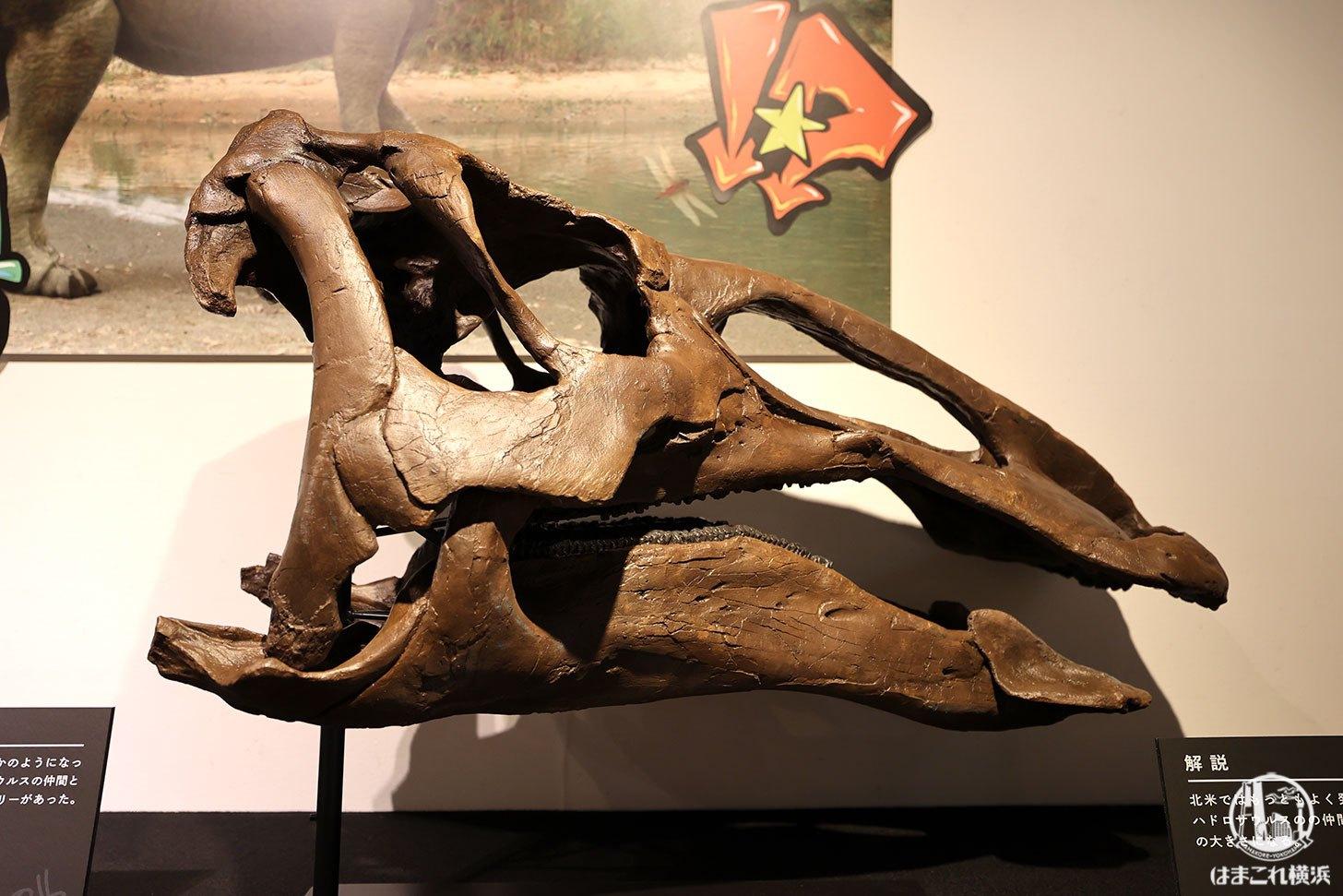 エドモントサウルス頭骨